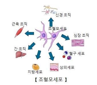 신경조직 심장조직 혈구세포 상피세포 지방세포 간조직 근육조직등 조혈모세포의 역활의 예시